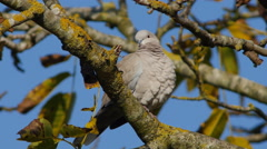 Eurasian Collared Dove. Blue sky - 4K Stock Footage