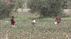 Workers picking cotton, Xinjiang, China - stock footage