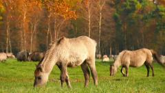 Young wild horses grazing in autumn Stock Footage