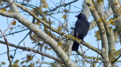 Jackdaw on a branch - 4K Stock Footage