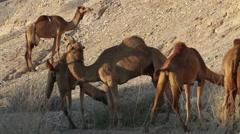 Camel Herd in desert Stock Footage