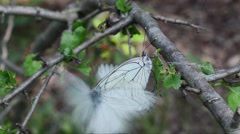 Black-veined White, Aporia crataegi, coupling - stock footage