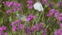Black-veined White, Aporia crataegi, butterfly, Stock Footage
