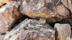 Small mouse hiding in the rocks in Botswana Stock Footage
