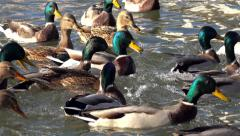Close up sunny view of hungry mallard ducks trying to catch the food 4K UHD Stock Footage