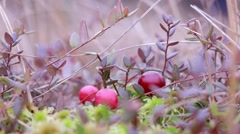 Berry picker picking cranberries at a bog - stock footage