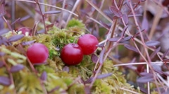 Cranberries being picked - stock footage