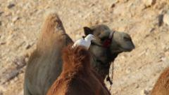 Cattle egrets on Camels Stock Footage
