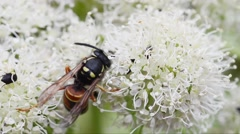 Wasp, hymenoptera, insect, flower, white flower, Stock Footage