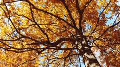 Panning low angle shot of an oak tree at autumn season Stock Footage