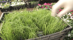 Hand picking chives plant from basket - stock footage