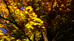 Stock Video Footage of Rotating tree, sunny autumn, golden leaves, lens flare