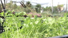 Fresh young parsley plants Stock Footage