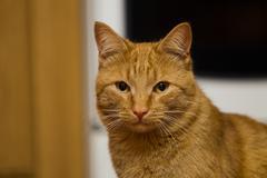 Red-headed cat Stock Photos