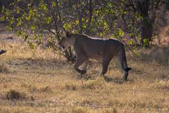 Stock Photo of Lioness in Botswana