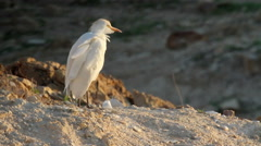 Cattle egret on rock Stock Footage