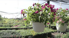 Flowers hanged in greenhouse Stock Footage