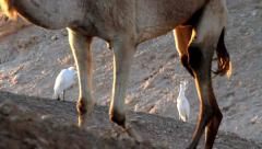 Cattle egret and camel Stock Footage