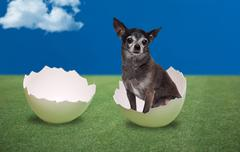 Dog seating inside a cracked egg - stock photo