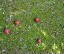 Fallen apples in an orchard after harvesting Stock Photos