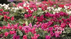 Cyclamen persicum bloom Stock Footage