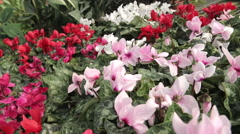 Colorful Cyclamen Planta Stock Footage