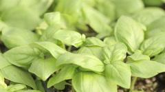Basil plant close up Stock Footage