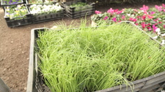 Shot of chives plants in motion - stock footage