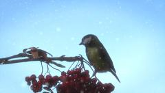Tit. Bird on a branch of rowan on a background the winter sky. Stock Footage
