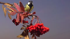 Tomtit. Bird on a branch of rowan against the evening winter sky. Slow motion Stock Footage
