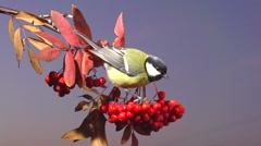 Bird on a branch of rowan against the evening winter sky. Stock Footage