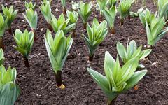 sprouting garlic .  spring - stock photo