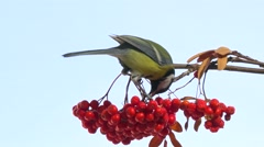 Tomtit. Bird on a branch of rowan. Stock Footage
