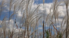 Stipa grass on the field, autumn. Primorsky Kray, Russia. Stock Footage