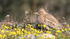 Stone Curlew Stock Footage