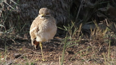 Stone Curlew bird Stock Footage