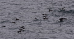 Slow Motion - Guillemots Riding the Waves Stock Footage