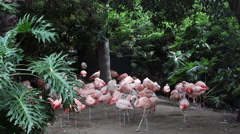 Flock of flamingos Stock Footage