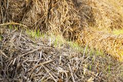 wheat germ .  after harvest - stock photo