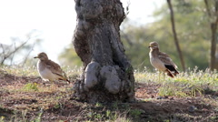 Stone Curlew bird cleaning Stock Footage