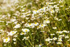 Daisies   spring   season Stock Photos