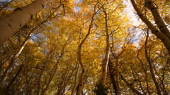 3 axis Motion Time Lapse of Yellow Aspens Fall Foliage Low Angle Stock Footage
