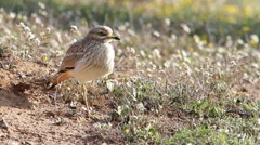 Stone Curlew bird walk Stock Footage