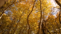 3 axis Motion Time Lapse of Yellow Aspens Fall Foliage Low Angle -Long Shot- Stock Footage