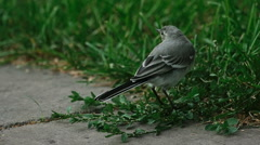Wagtail bird Stock Footage