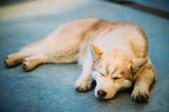 Young White And Red Husky Puppy Eskimo Dog Sleeping - stock photo