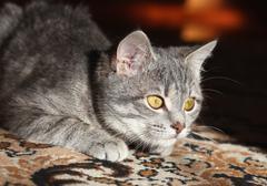 gray cat preparing to attack - stock photo