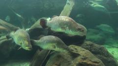 School Of Barramundi Fish Stock Footage