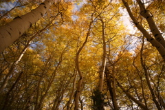 5K 3 axis Motion Time Lapse of Yellow Aspens Fall Foliage Low Angle Stock Footage
