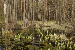 Swamp . spring season Kuvituskuvat